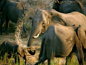 Elefantes jugando en el agua