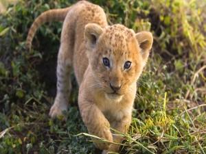 Cachorro de león caminando en la hierba