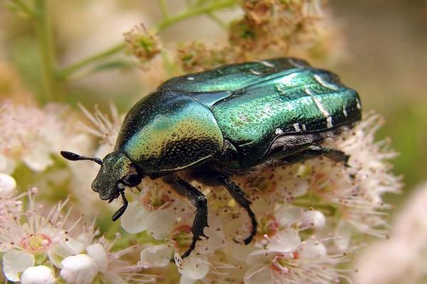 Escarabajo sobre las flores