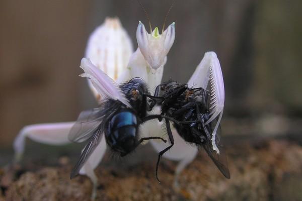 Mantis blanca con dos moscas en sus patas