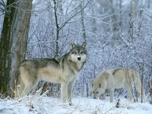 Dos lobos en la nieve
