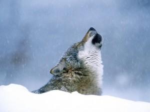 Lobo aullando en la nieve