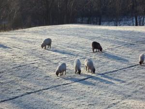 Ovejas pastando en la fría hierba
