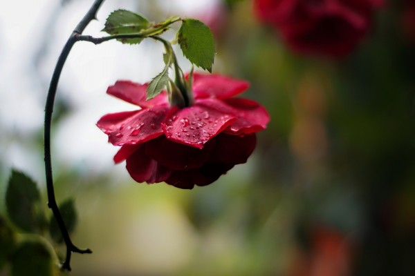 Rosa roja con el tallo doblado hacia el suelo