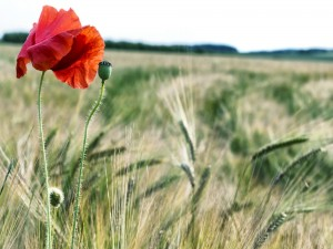 Postal: Amapola entre espigas de trigo en el campo