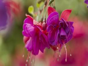 Postal: Flores fucsias colgadas de la planta