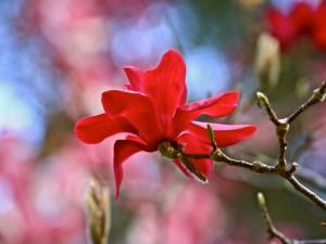 Magnolia roja en la rama