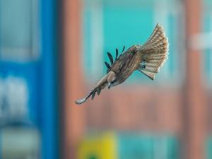 Postal: Un halcón en vuelo