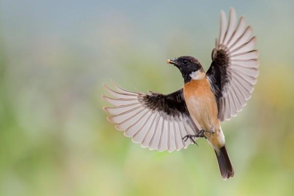 Un pájaro con sus alas desplegadas y alimento en el pico