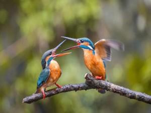 Postal: Pareja de Martín pescador peleando