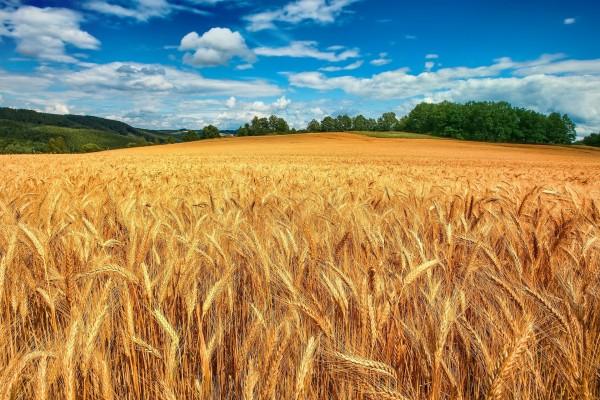 Campo de trigo seco