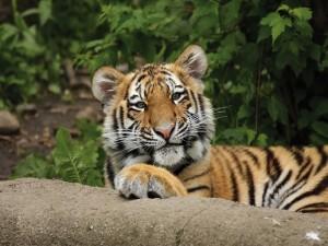 Postal: Un joven tigre tumbado