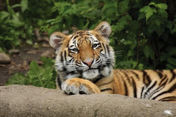 Un joven tigre tumbado