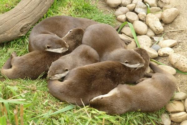 Un grupo de nutrias dormidas