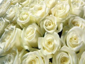 Postal: Un gran numero de rosas blancas