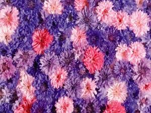 Flores de la misma especie en varios colores