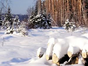Árboles y troncos cubiertos de nieve