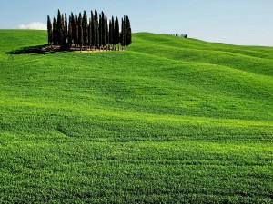 Postal: Grupo de pinos en una gran extensión verde