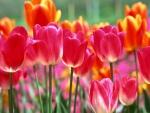 Tulipanes de varios colores