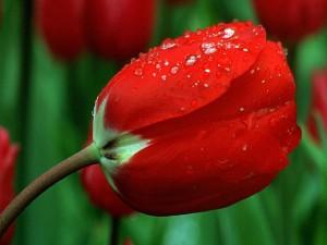 Gotas de agua sobre un tulipán rojo