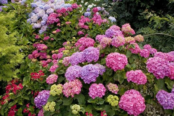 Hortensias de bonitos colores