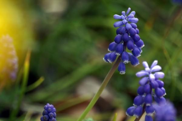 Pequeñas flores azules agrupadas en la misma rama
