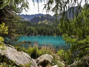Pinos verdes rodeando el lago