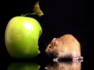 Ratón comiendo una manzana