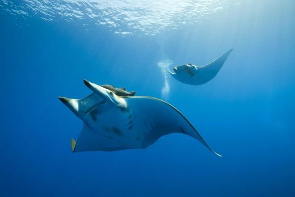 Manta gigante (Manta birostris) en las aguas del océano
