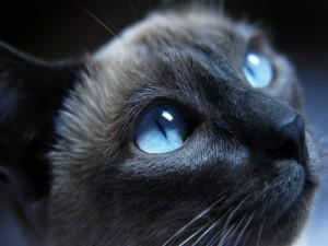 Brillantes ojos azules de un gato gris