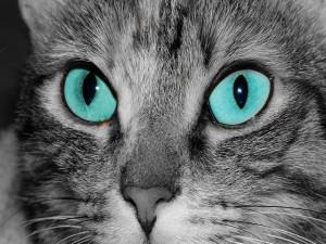Un gato gris con los ojos azules