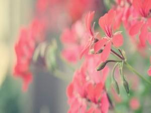 Postal: Delicadas flores de un suave color rojo