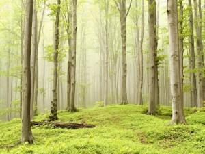 Niebla en el interior del verde bosque