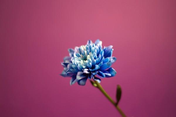 Una flor azul en un fondo rosa