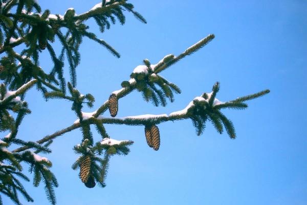 Grandes piñas y nieve en las ramas del pino