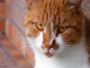 Postal: Un bonito gato con los ojos color ámbar