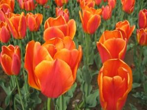 Postal: Tulipanes de color naranja en el jardín