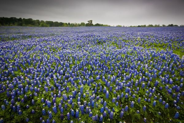 Un campo con abundantes flores azuladas