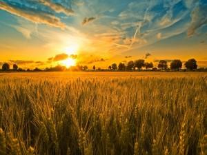 Atardecer en un campo de trigo