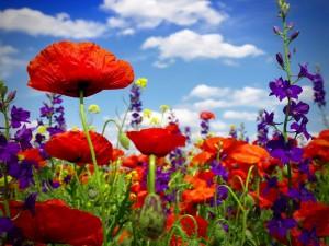 Postal: Campo con gran variedad de amapolas y otras bellas flores