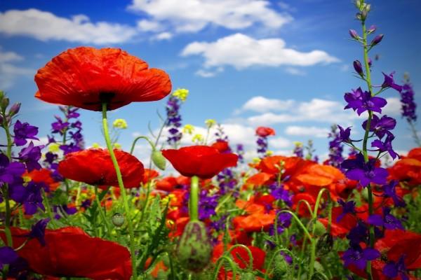 Campo con gran variedad de amapolas y otras bellas flores