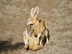 Dos zorros del desierto jugando en la arena
