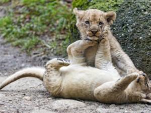 Una pareja de pequeños leones divirtiéndose