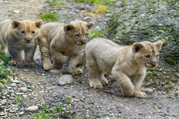 Trío de leones caminando
