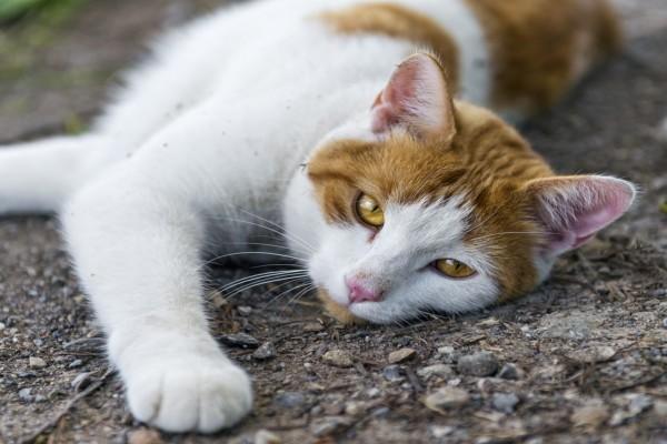 Un gato blanco con manchas marrones tumbado sobre piedras