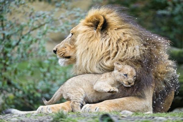 León protegiendo al cachorro