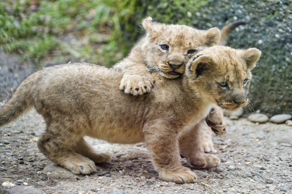 Dos cachorros de león jugando