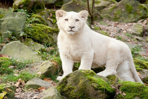 Un joven león blanco entre las piedras