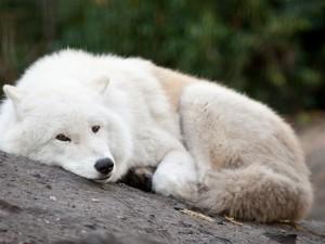 Lobo blanco tumbado sobre una roca