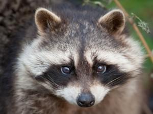 La cara de un mapache